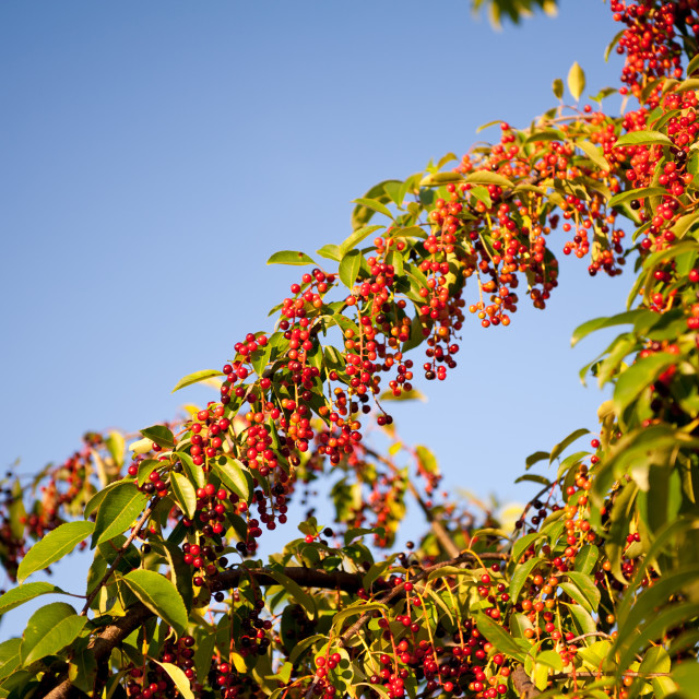"""Prunus serotina red fruits grow"" stock image"