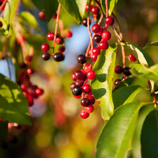 """Prunus serotina red fruits detail"" stock image"