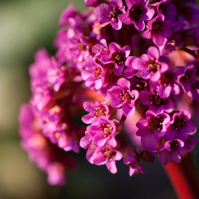 """Pink Bergenia flowering plant"" stock image"