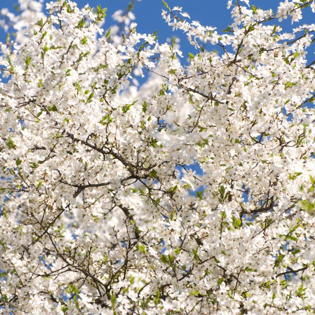 """Plenty white flowers of Cerasus or cherry tree"" stock image"