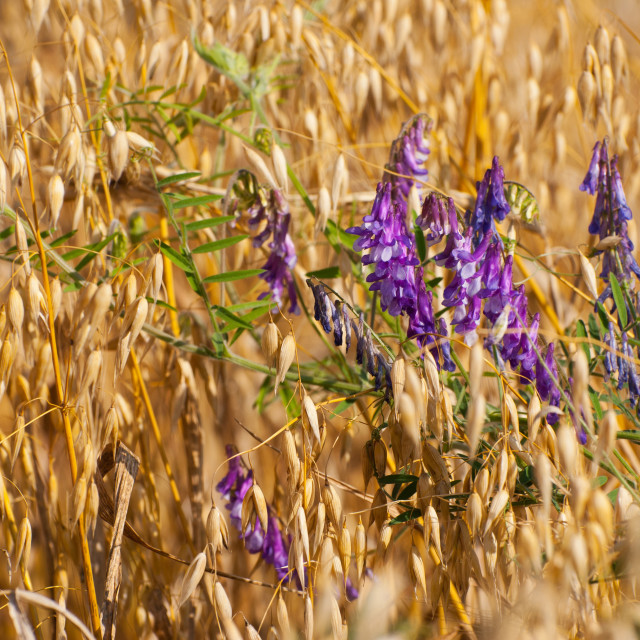 """Avena or oats and Vicia grow in field"" stock image"