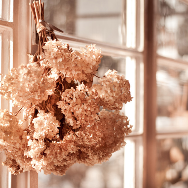 """hortensia old dried bouquet hang in window"" stock image"