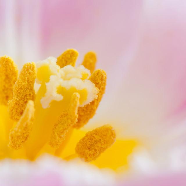 """Yellow stamen of pink tulip extreme macro"" stock image"