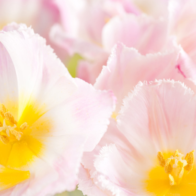 """Subtle pink tulip macro inside"" stock image"