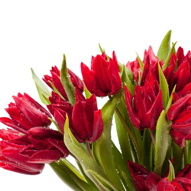 """Water sprinkled cut red tulips bouquet"" stock image"