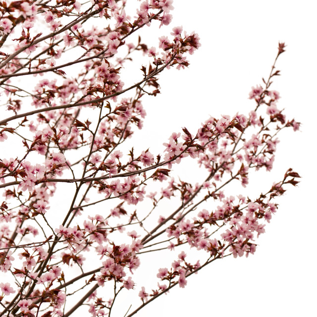 """Cerasus cherry tree pink blossoms"" stock image"