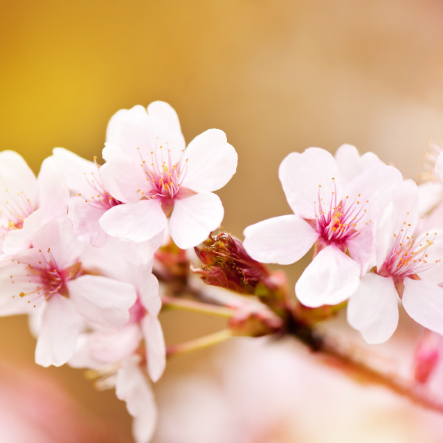 """fairy cherry tree flowers detail"" stock image"