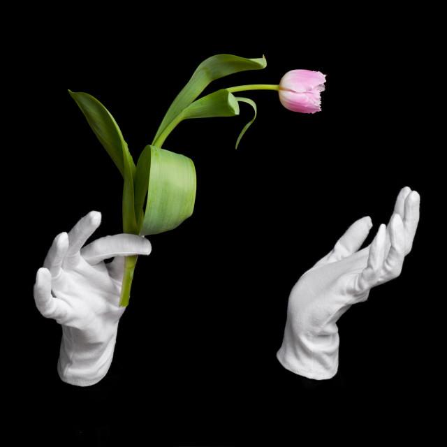 """Pink fresh tulip in wizard hands trick"" stock image"