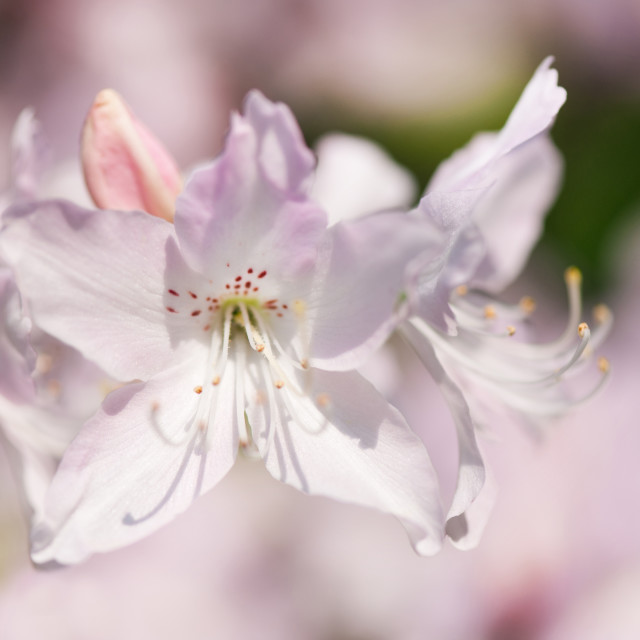 """""""Soft pink Rhododendron or Azalea"""" stock image"""