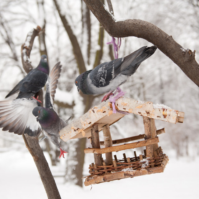 """Three hungry pigeons sitting on bird feeder"" stock image"