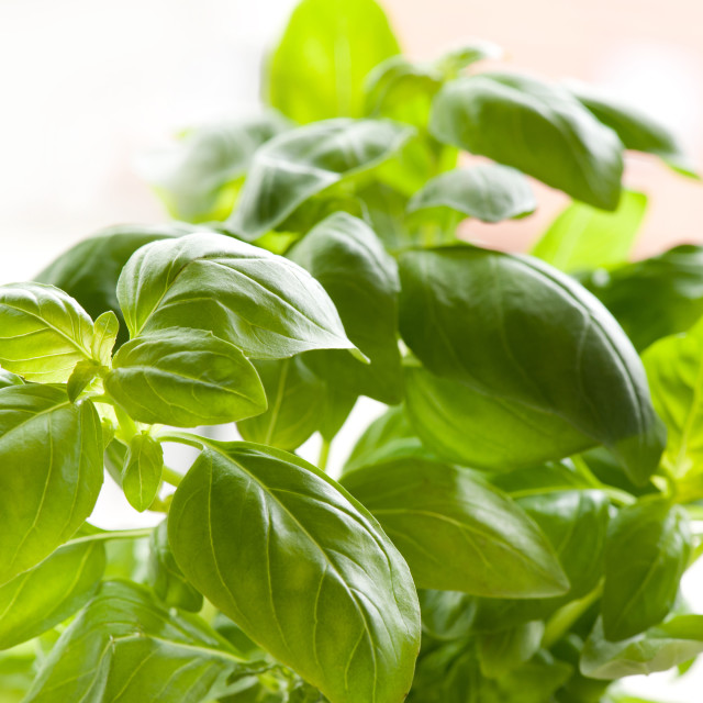 """Ocimum basilicum green basil leaves"" stock image"