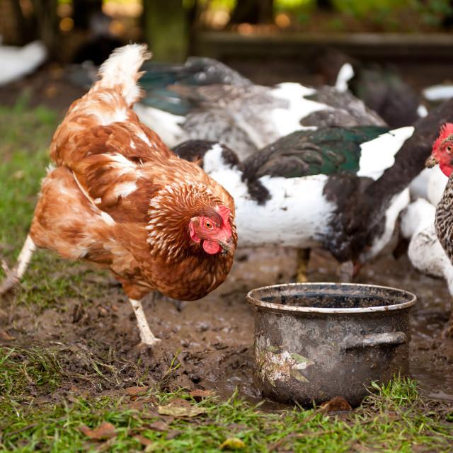 """""""Free range chicken digging"""" stock image"""