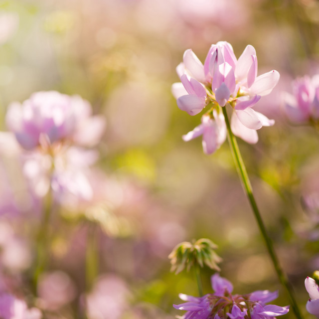 """""""Clover or Trifolium flowers blooming"""" stock image"""