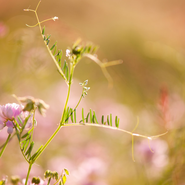 """tendrils of Vicia or Vetch and pink Clover"" stock image"