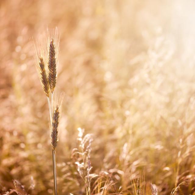 """Golden cereal ears warm bokeh"" stock image"