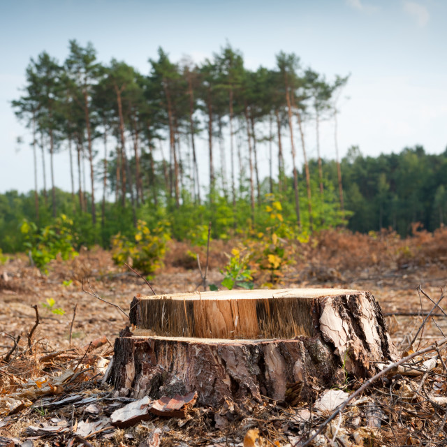 """Woods logging and stump of deforestation hack"" stock image"