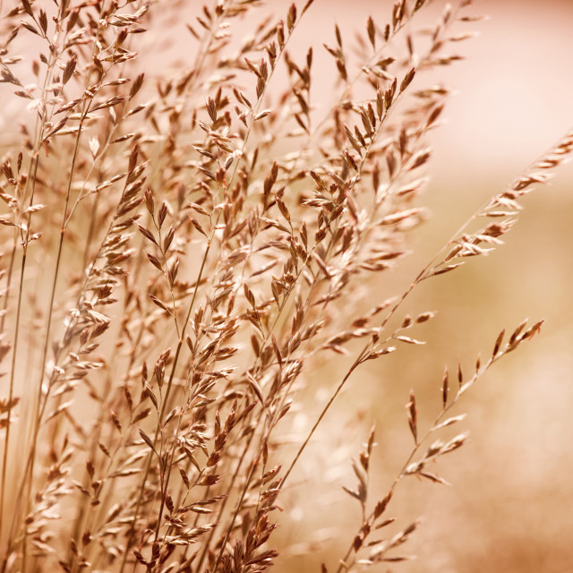 """Bunch of sepia toned grass inflorescence"" stock image"