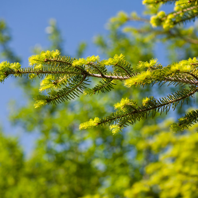 """Green coniferous new shoots"" stock image"