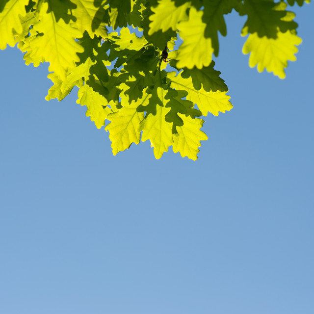 """Bunch of green oak leaves in bright sunlight"" stock image"