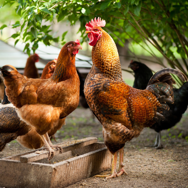 """Rhode Island Red chickens and wooden feeder"" stock image"