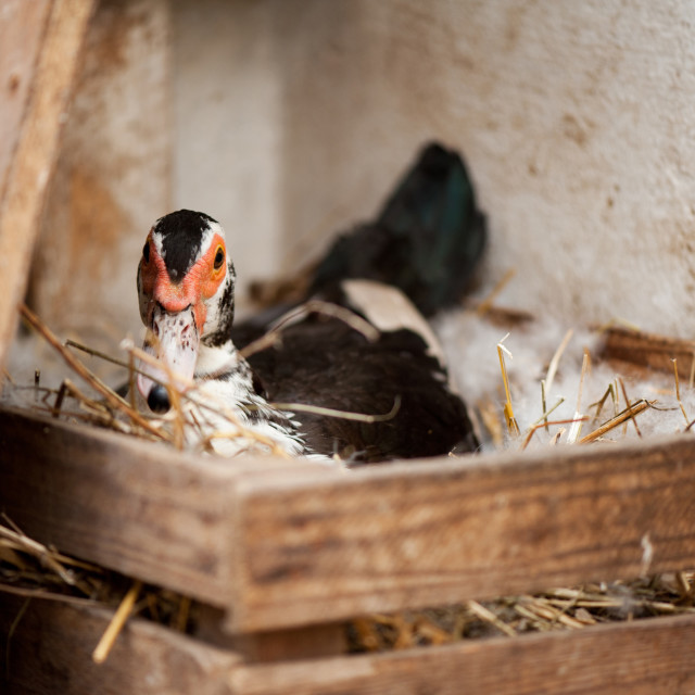 """Muscovy Duck or Cairina moschata incubates eggs"" stock image"