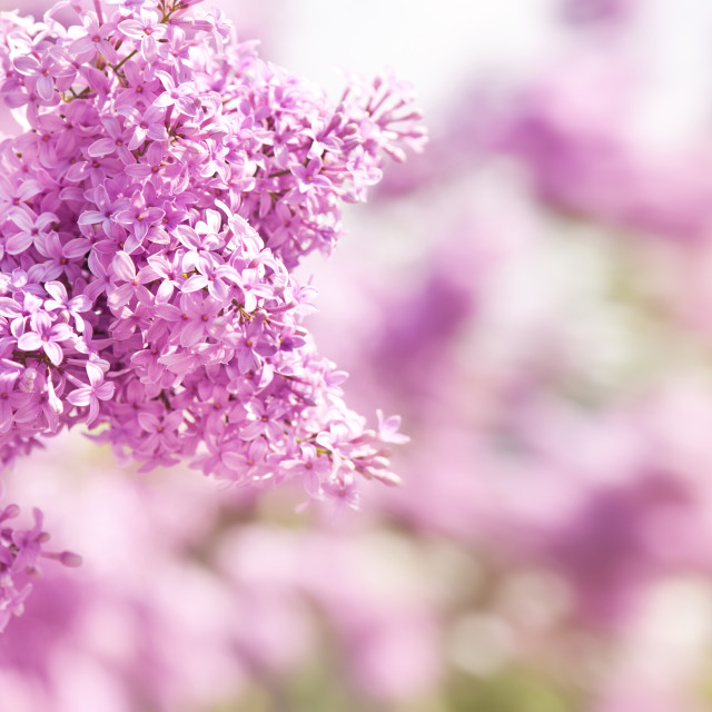 """""""Lilac vibrant pink inflorescence"""" stock image"""