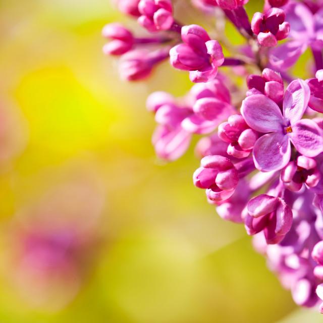 """Pink Syringa or lilac flowerets macro"" stock image"