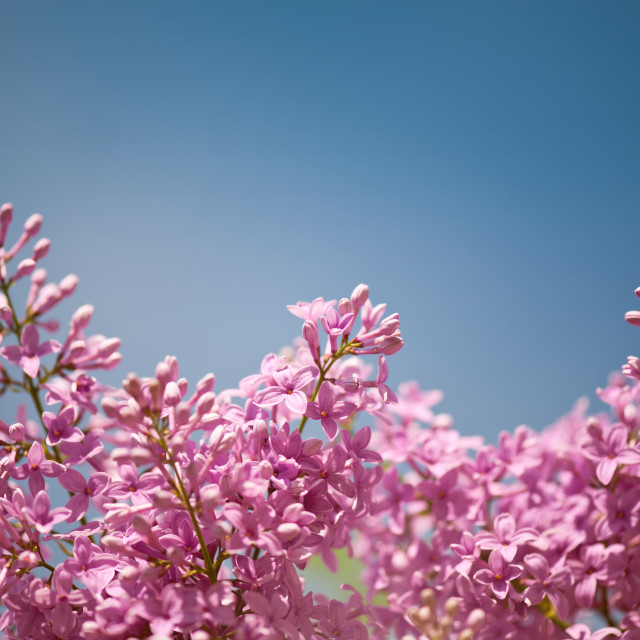 """""""Lilac flowering bright pink"""" stock image"""