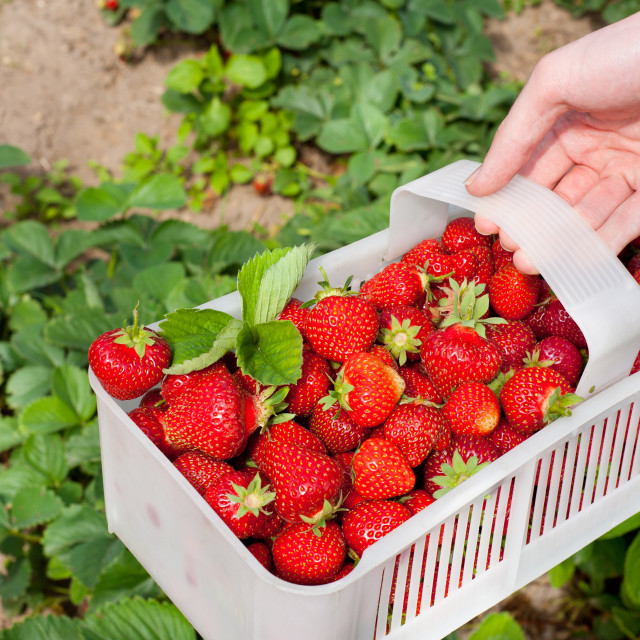 """ripe strawberries picked to white plastic punnet"" stock image"