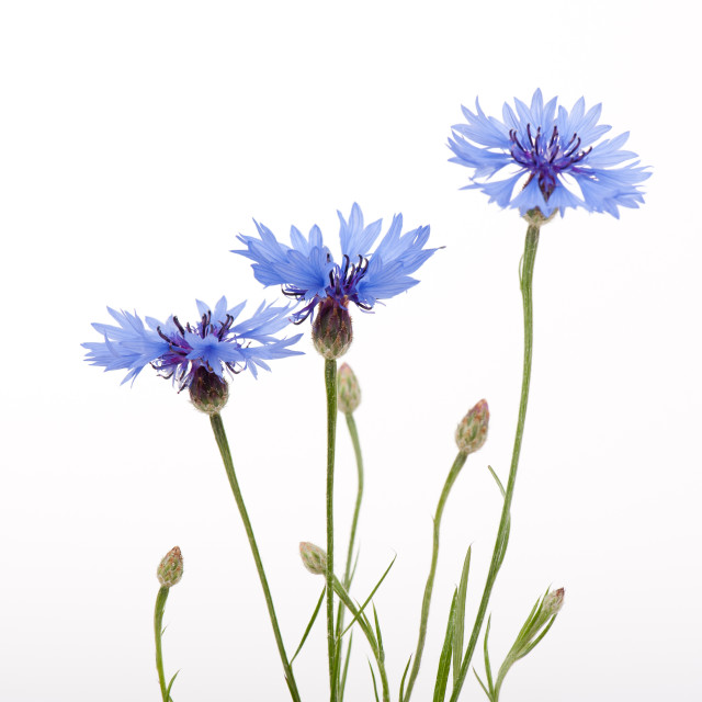 """Three blue cornflower flowers and buds"" stock image"