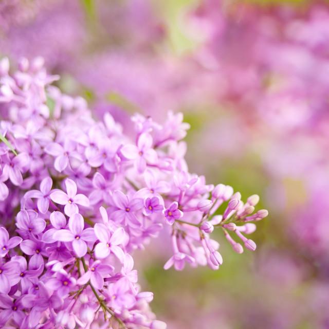 """""""Syringa vulgaris lilac flowering pink"""" stock image"""