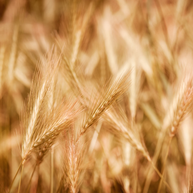 """Golden ripe cereal ears grow on field"" stock image"