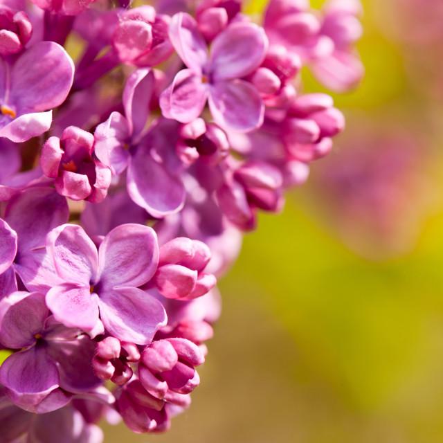 """""""Pink Syringa vulgaris or lilac flowers macro"""" stock image"""