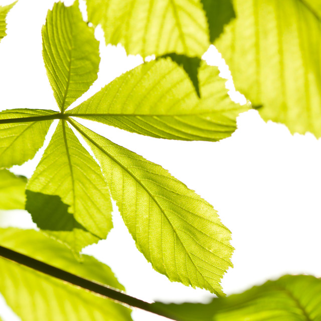 """green Aesculus horse chestnut foliage"" stock image"