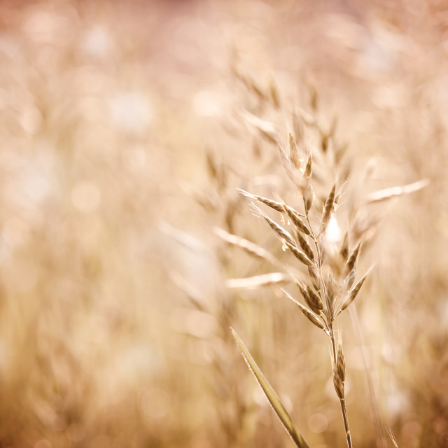 """Sepia toned ripe grass inflorescence with pollen"" stock image"