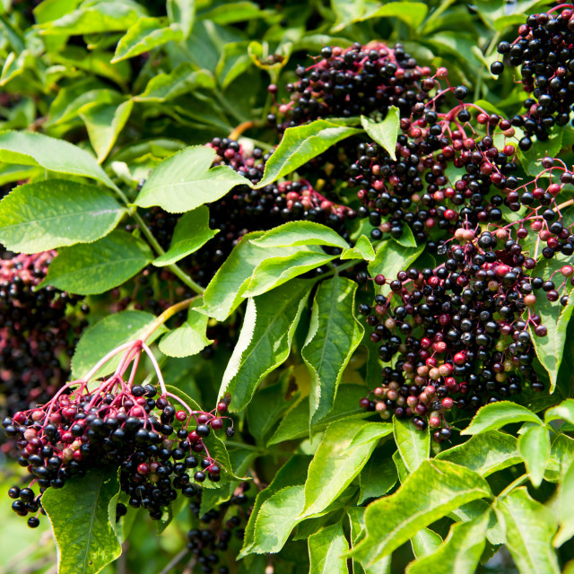 """""""Elderberry fruits fresh clusters on plant"""" stock image"""