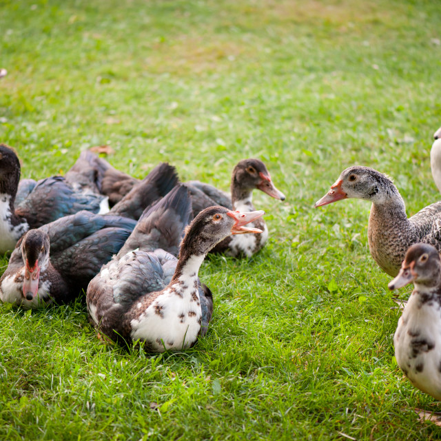 """""""Muscovy Duck or Cairina moschata brace quacking"""" stock image"""
