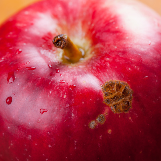 """""""fruit disease apple scab lesions on red peel"""" stock image"""