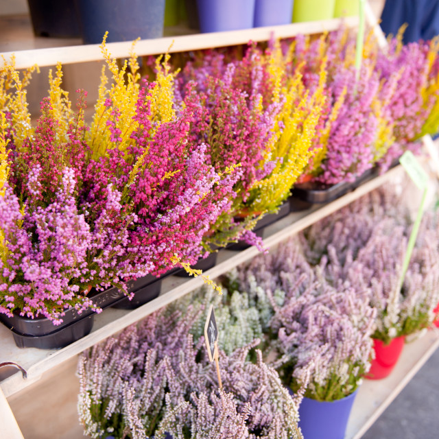 """Shop shelves with blooming heather flowers"" stock image"