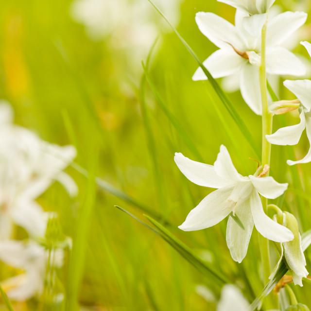"""Ornithogalum nutans pretty bloom"" stock image"