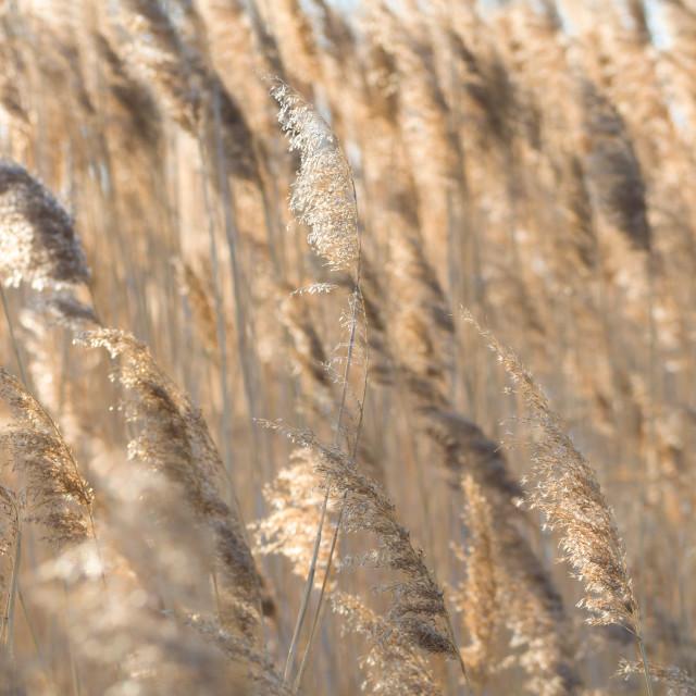 """""""Gold Backlit Reeds"""" stock image"""