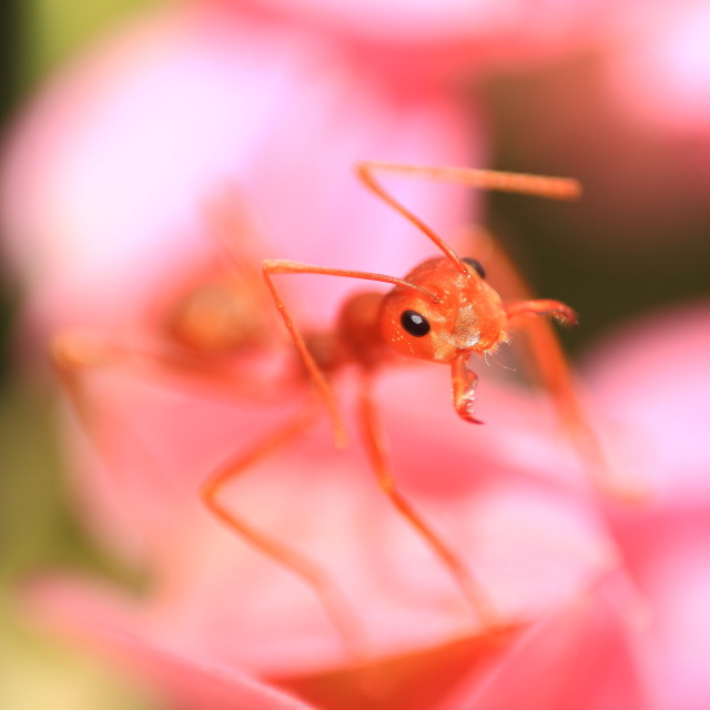 """Pink flowers and ant"" stock image"