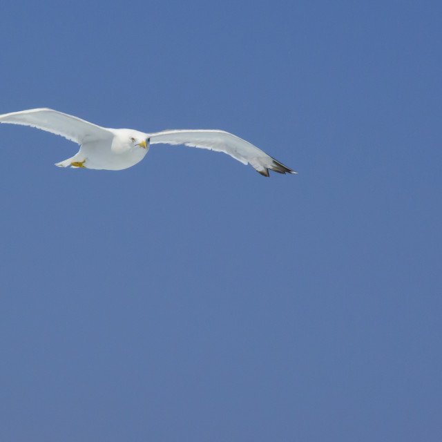 """Solo flying seagull with yellow beak and legs"" stock image"