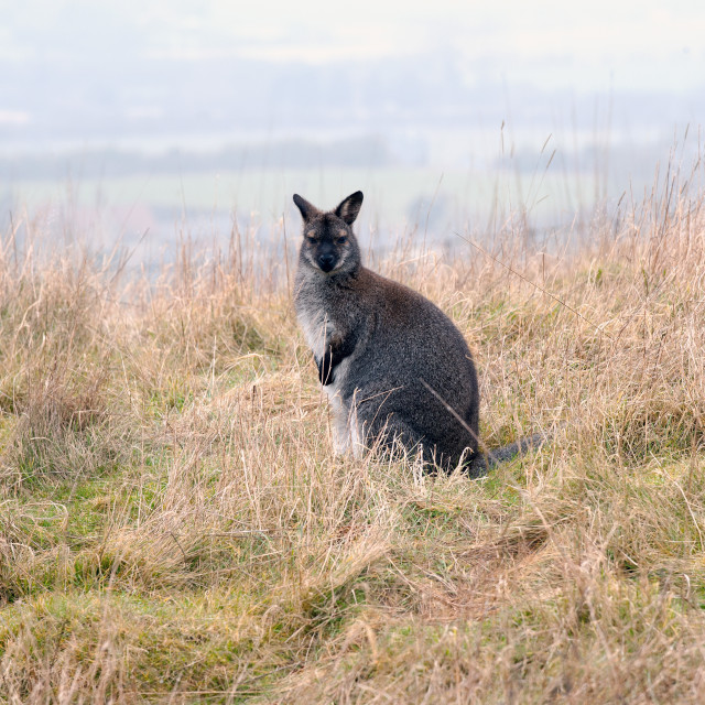 """Wallaby"" stock image"