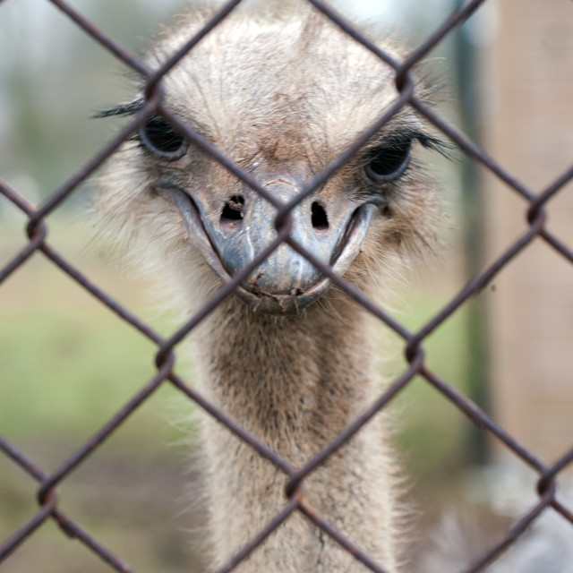 """Ostrich behind bars"" stock image"