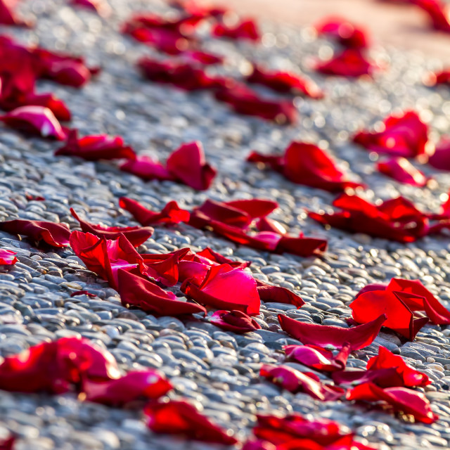 """Rose petals"" stock image"