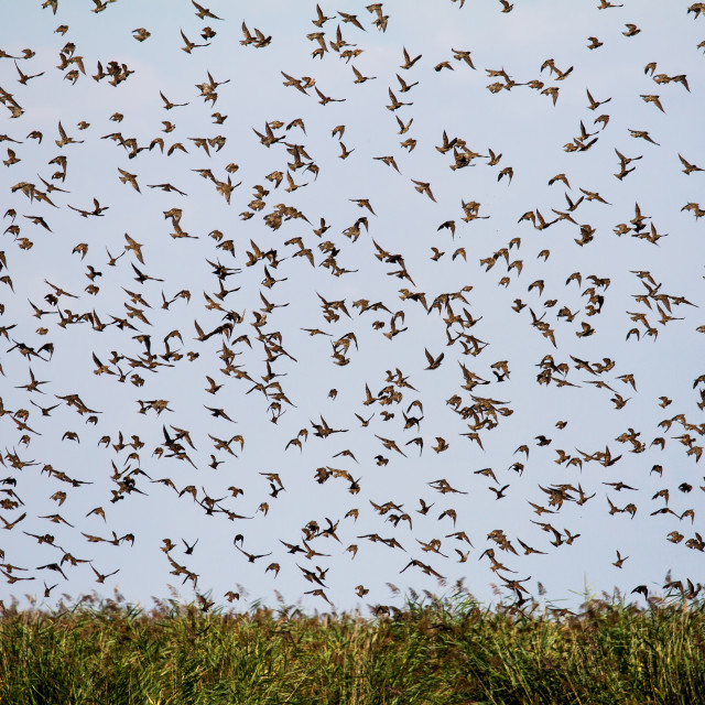 """""""Group of starlings"""" stock image"""