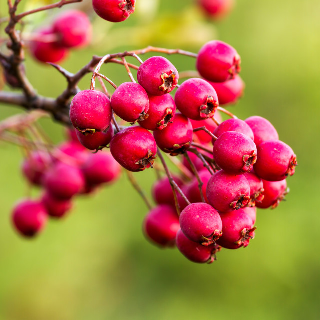 """Mature hawthorn berries"" stock image"