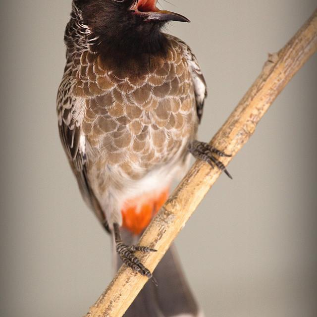 """""""Bird Nightingale"""" stock image"""