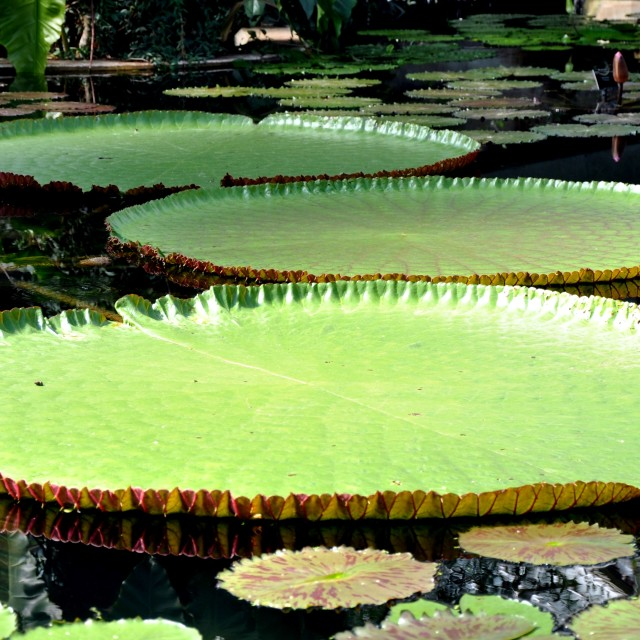 """Lily Pads"" stock image"